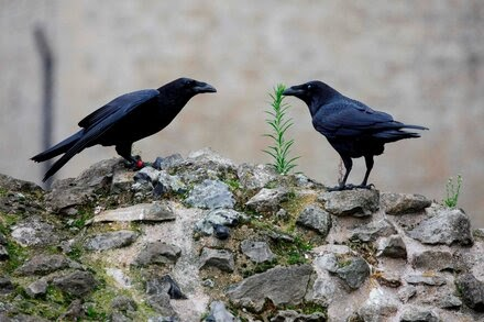 TREND ESSENCE:A Raven Queen Vanishes, and Britain Checks a Prophecy