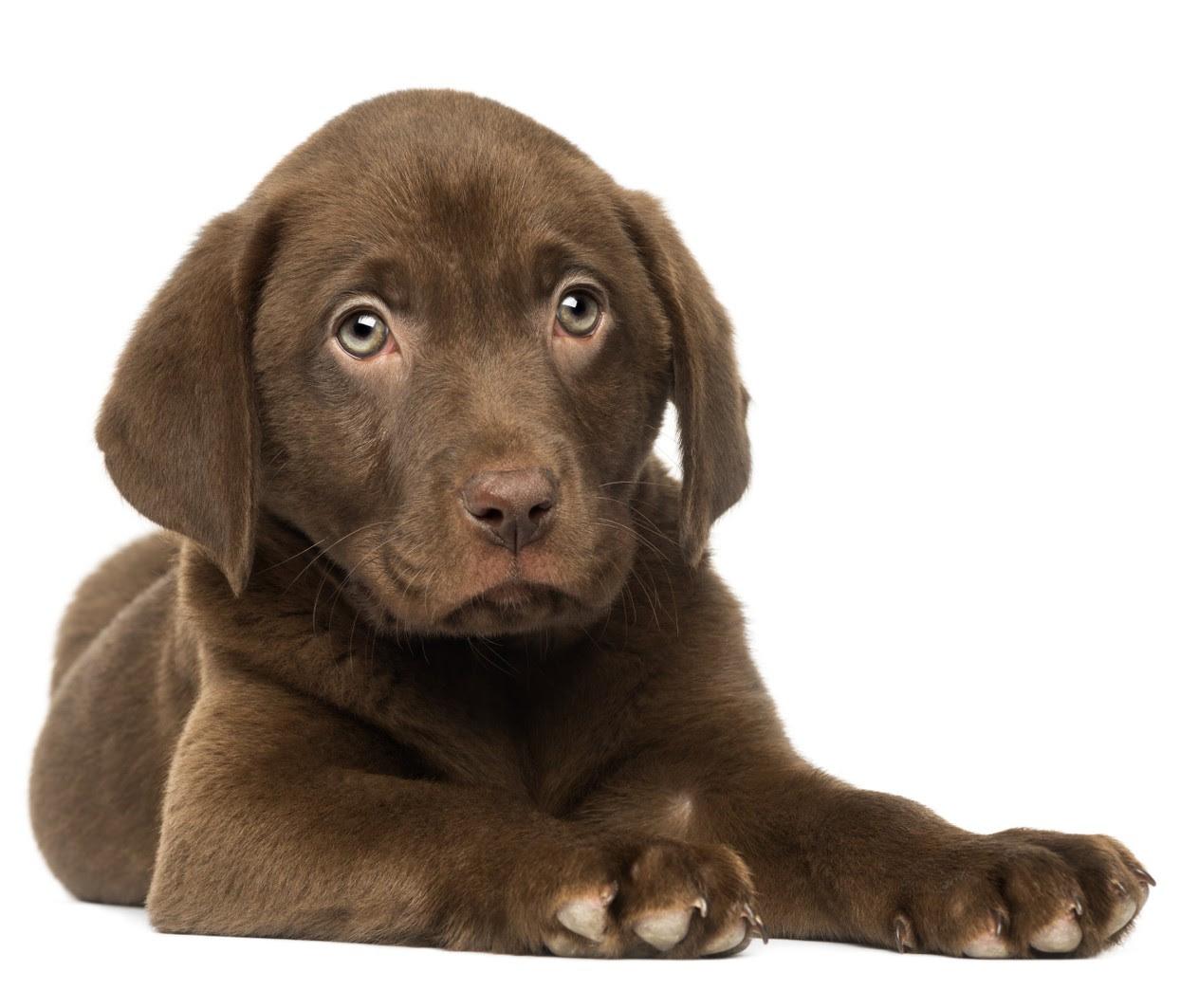 Labrador Puppy For Sale In Victoria Australia