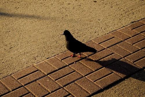 pigeon & shadow.jpg