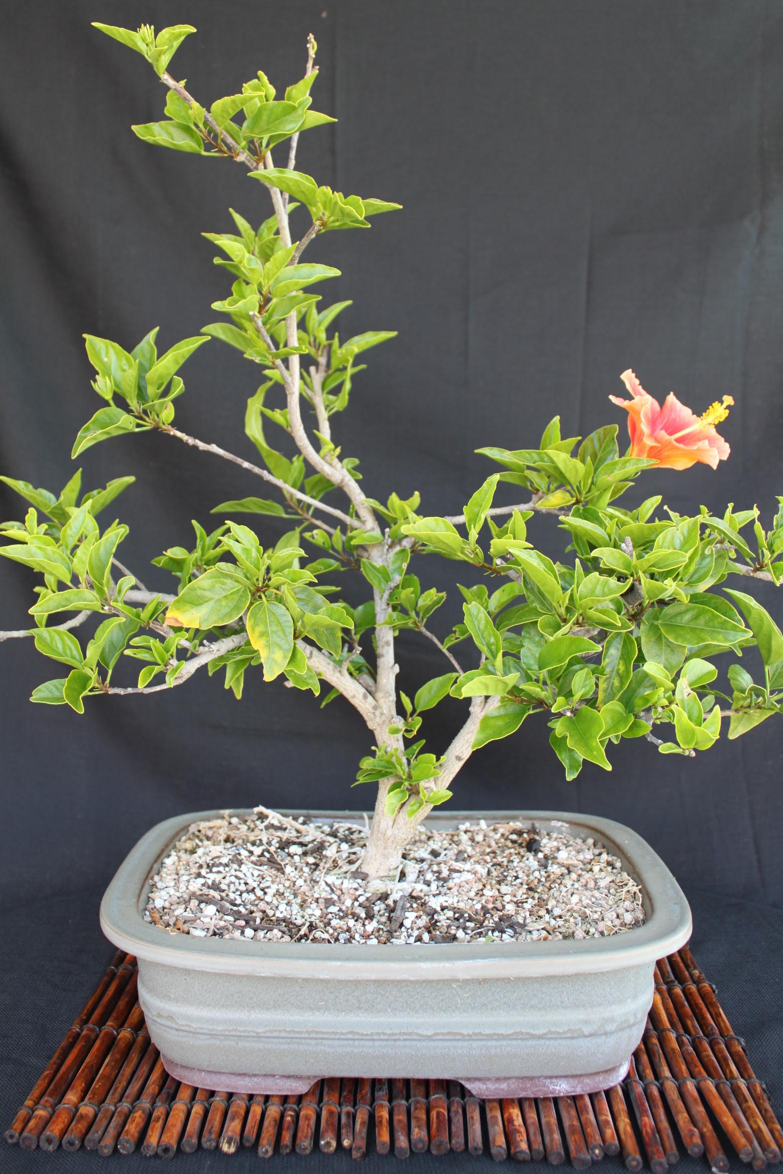 Hibiscus Bonsai Kuromatsubonsai Com