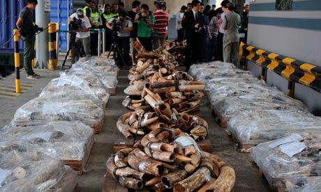 1.200 χαυλιόδοντες κατασχέθηκαν στο τελωνείο  του Χονγκ Κονγκ
