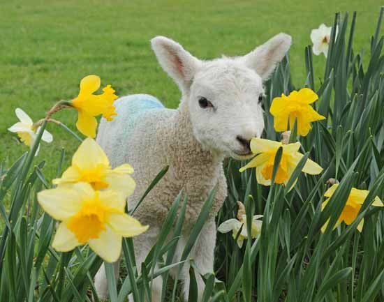 Image result for spring lamb