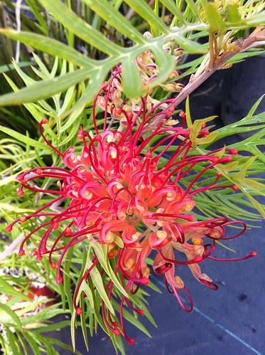 Grevellea Plant I bought yesterday.