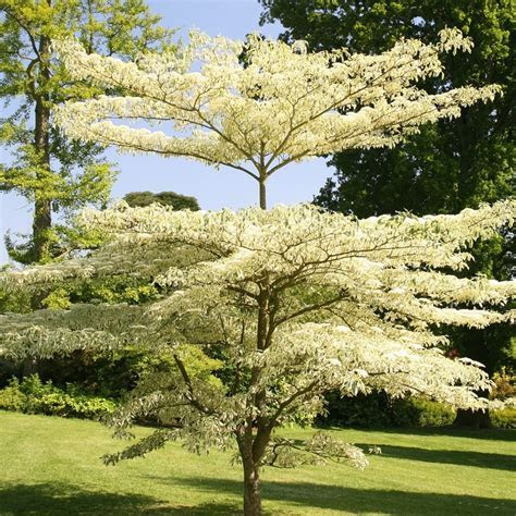 Buy wedding cake tree Cornus controversa 'Variegata'