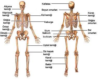 Iskeleti Oluşturan Kemikler Ve Eklemler