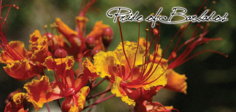 Pride Of Barbados Barbados Pocket Guide
