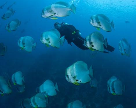 Un buzo con peces pala. | Mark Erdman / Conservation Internationl