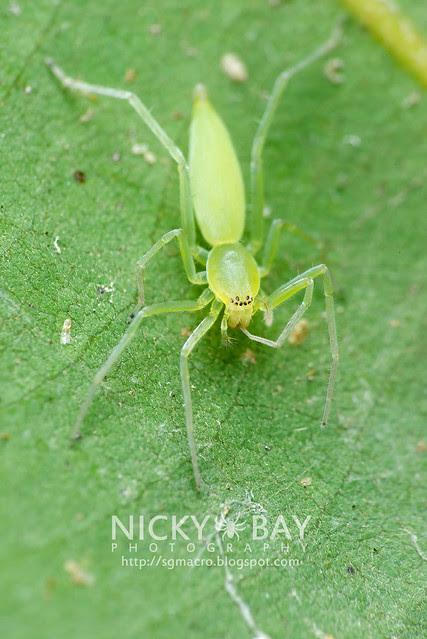 Sac Spider (Clubionidae) - DSC_6498