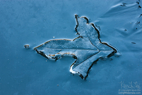 Oak Leaf Impression on Ice, Snohomish County, Washington