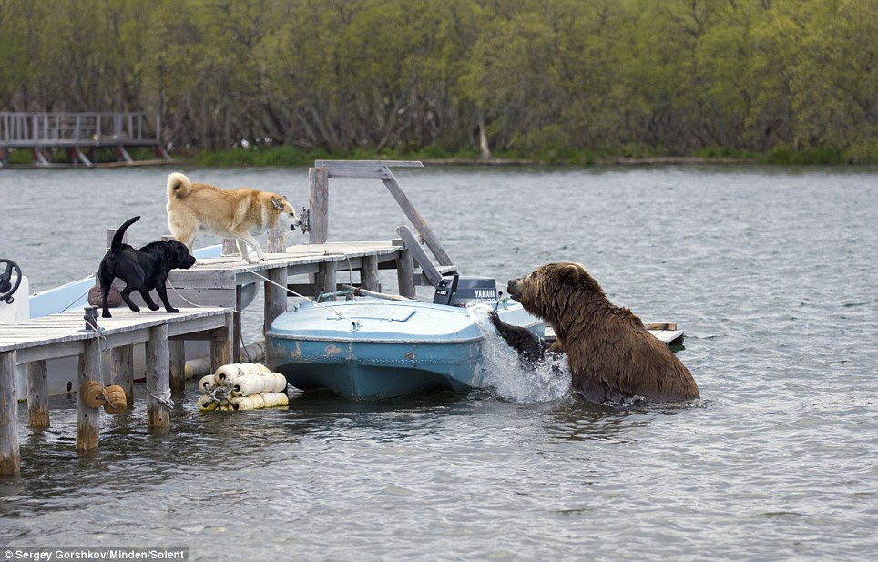 Why the big pause? The bear eyes up the dogs and sees that they mean business before sliding back into the water and swimming away