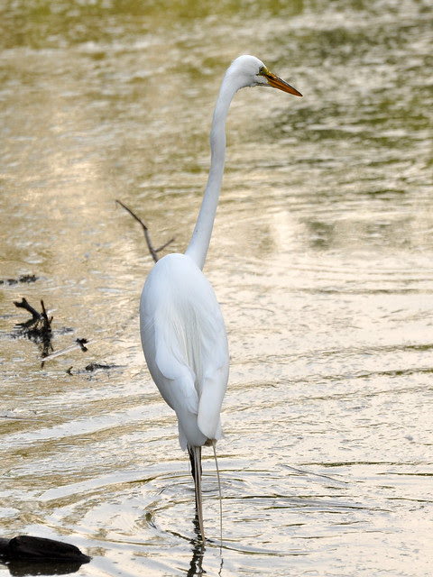 Morningside Egret