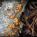 BPH Mushroom 16