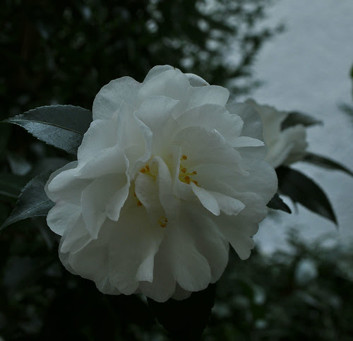 Camellia sasanqua 'Autumn Rocket'