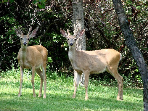 two velvet horned bucks