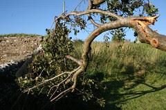 Broken plum tree