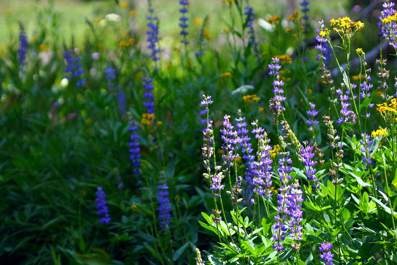 IMG_1609 Wildflowers, Sifford Lake/Kings Creek Falls Trail