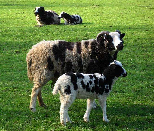 Jacob Sheep, Nether Heage