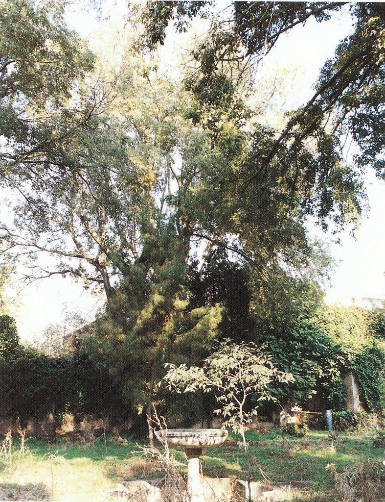 Jardín del Palacio de Buenavista en 1998. Fotografía de Bienvenido Vargas para el libro De Árboles en Toledo de Ricardo Sánchez Candelas