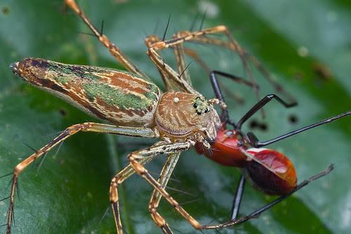 Lynx spider with assassin bug prey..IMG_9270 copy