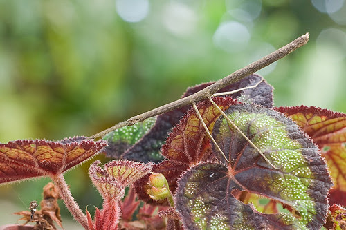 stick insect IMG_8608 copy