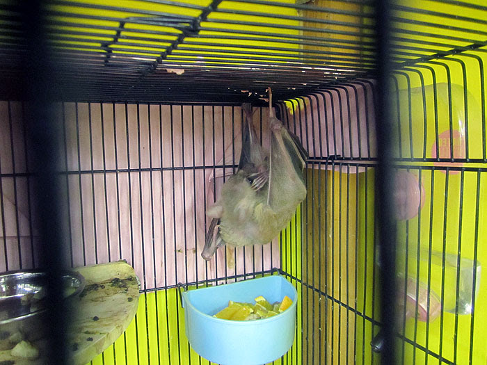Pet Bat preening