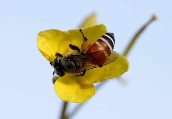 Quasi un'ape selvatica su dieci rischia estinzione in Europa