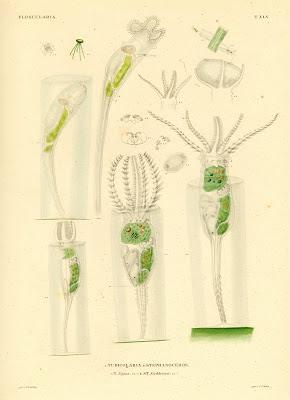Floscularia, Tubicolaria, Stephanoceros