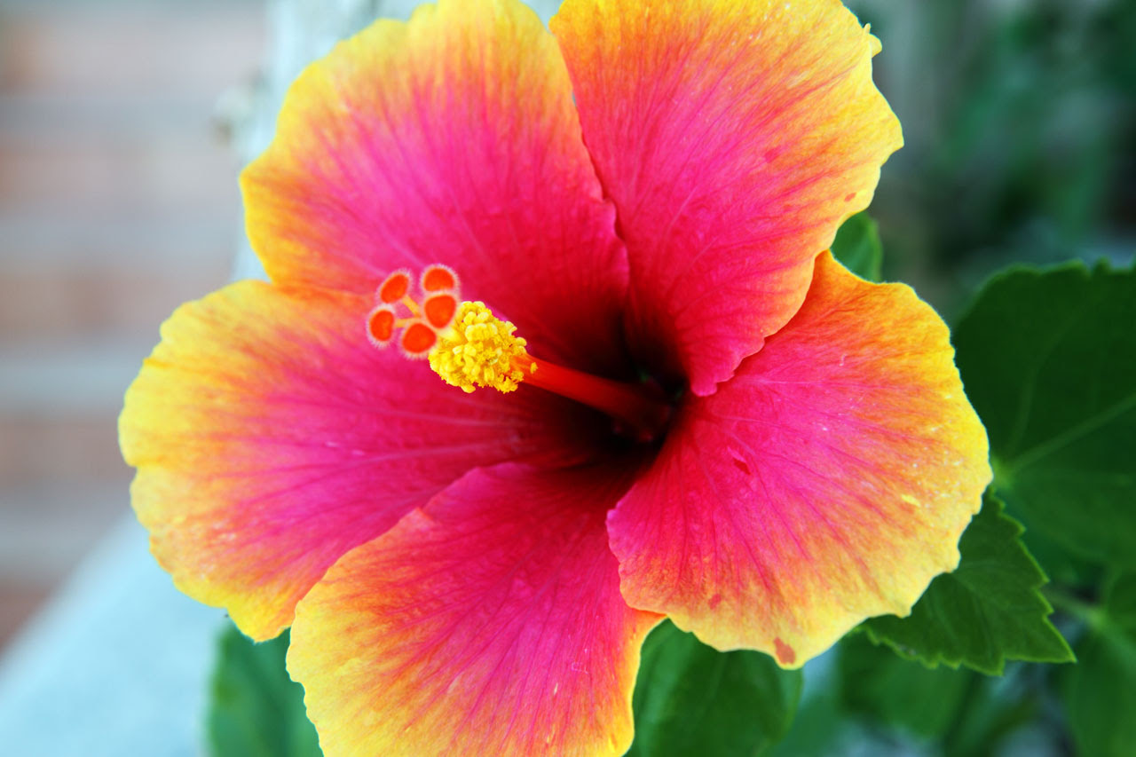 Hibiscus Flower Plant Images Top Collection Of Different Types Of