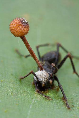Dead ant, fungus victim...IMG_9910 copy