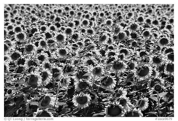 Black And White Picturephoto Sunflowers Central Valley
