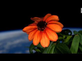 Cultivan la Primera Flor en el Espacio