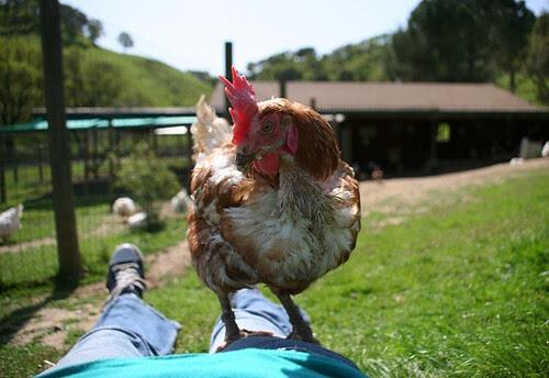 Happy Hen is Happy