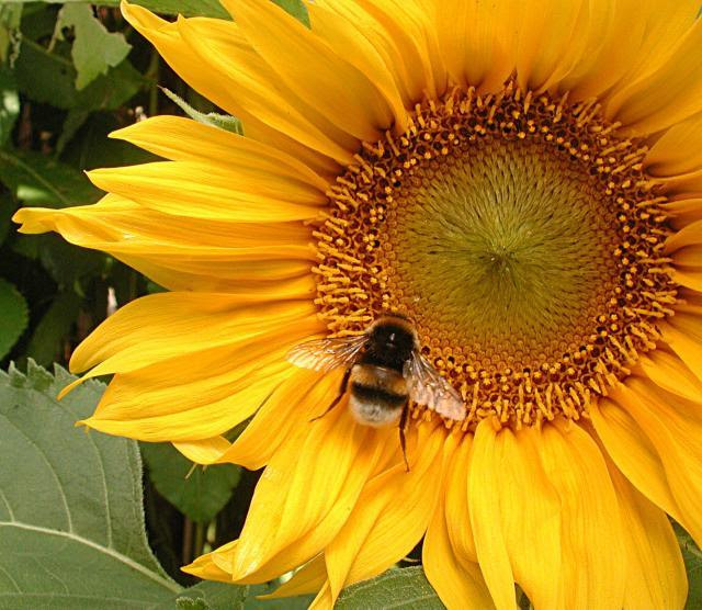 Image result for bee on sunflower