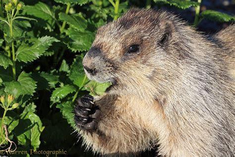 Hoary Marmot browsing photo   WP35480