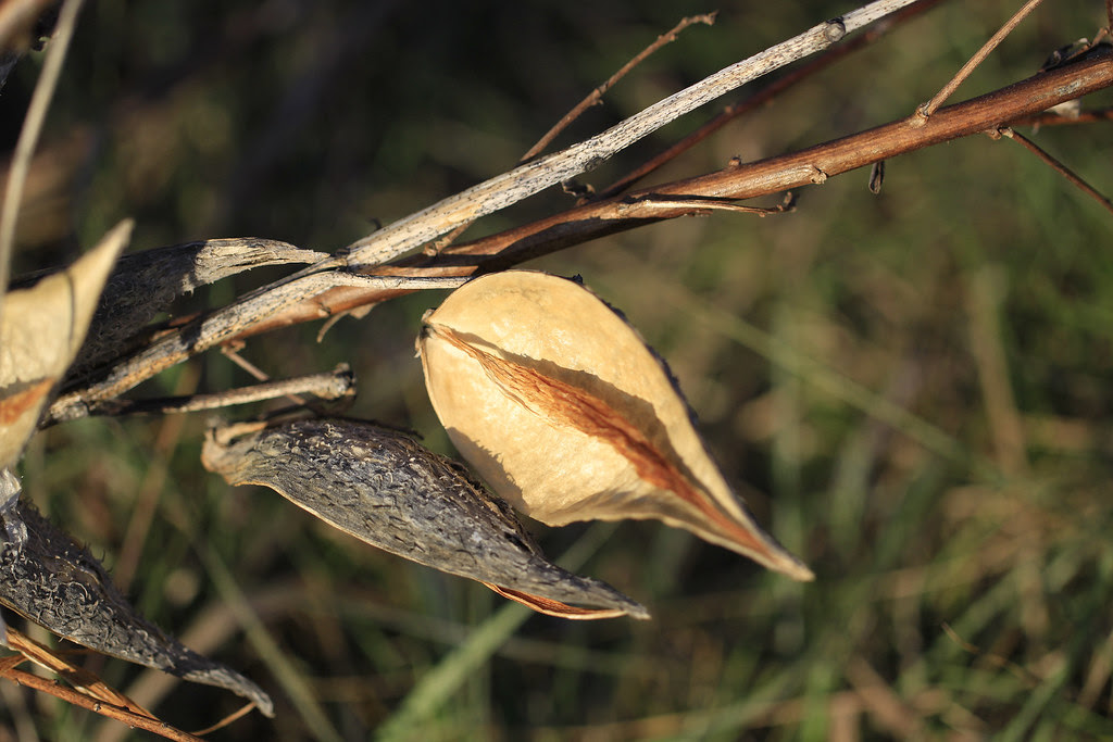milkweed pods empty2