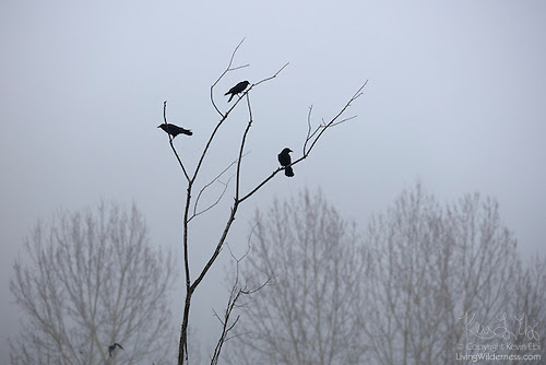 Three Crows in Bare Tree, North Creek, Washington
