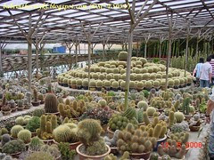 ch - cv cactus02