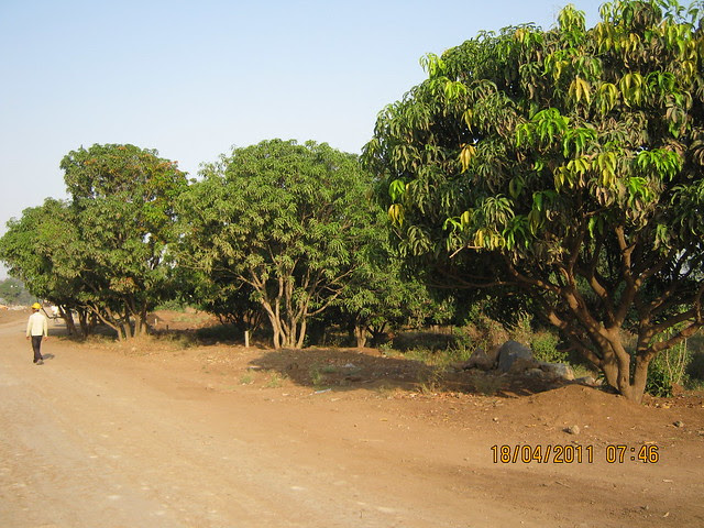 Mango Groves! - Visit to Nanded City Pune on Sinhagad Road