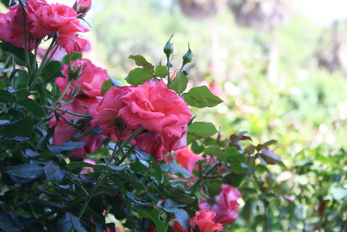 Mable Ringling rose garden