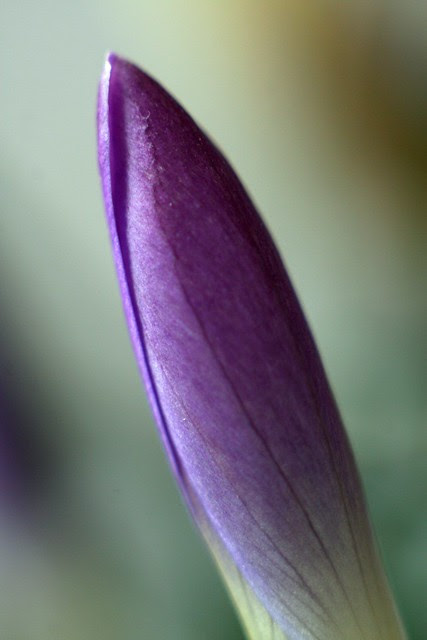 purple crocus bud