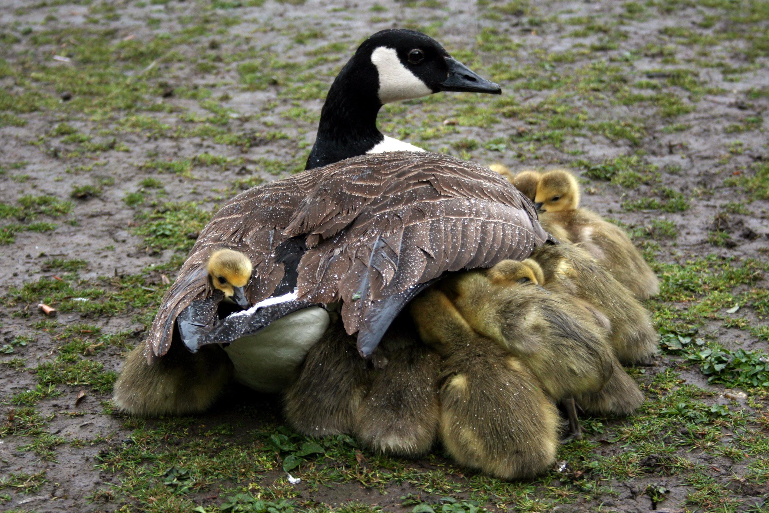 http://upload.wikimedia.org/wikipedia/commons/6/6e/Mother_shelters_goslings.jpg