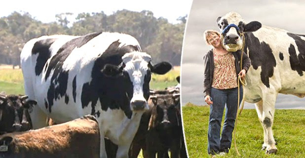 Knickers, the Giant Cow is the New Trending Sensation on the Internet