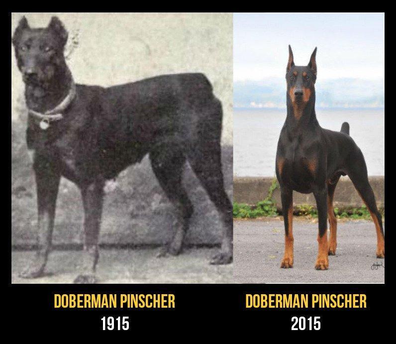 razas perro evolucion 3