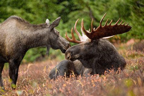 File:Moose animal pair bull and cow moose   Wikipedia
