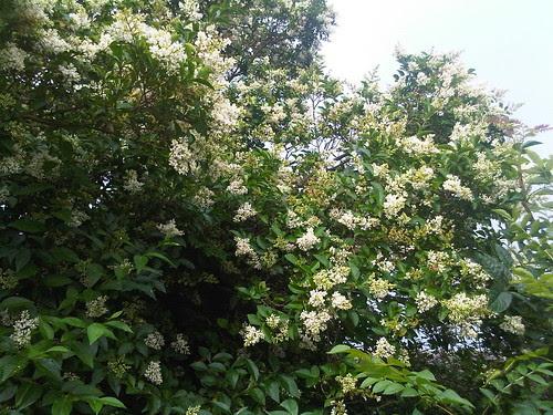 Privet flowering Aug 12