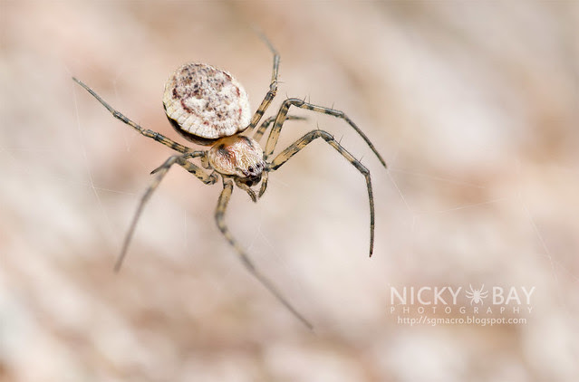 Ornamental Tree Trunk Spider (Herennia sp.) - DSC_1655