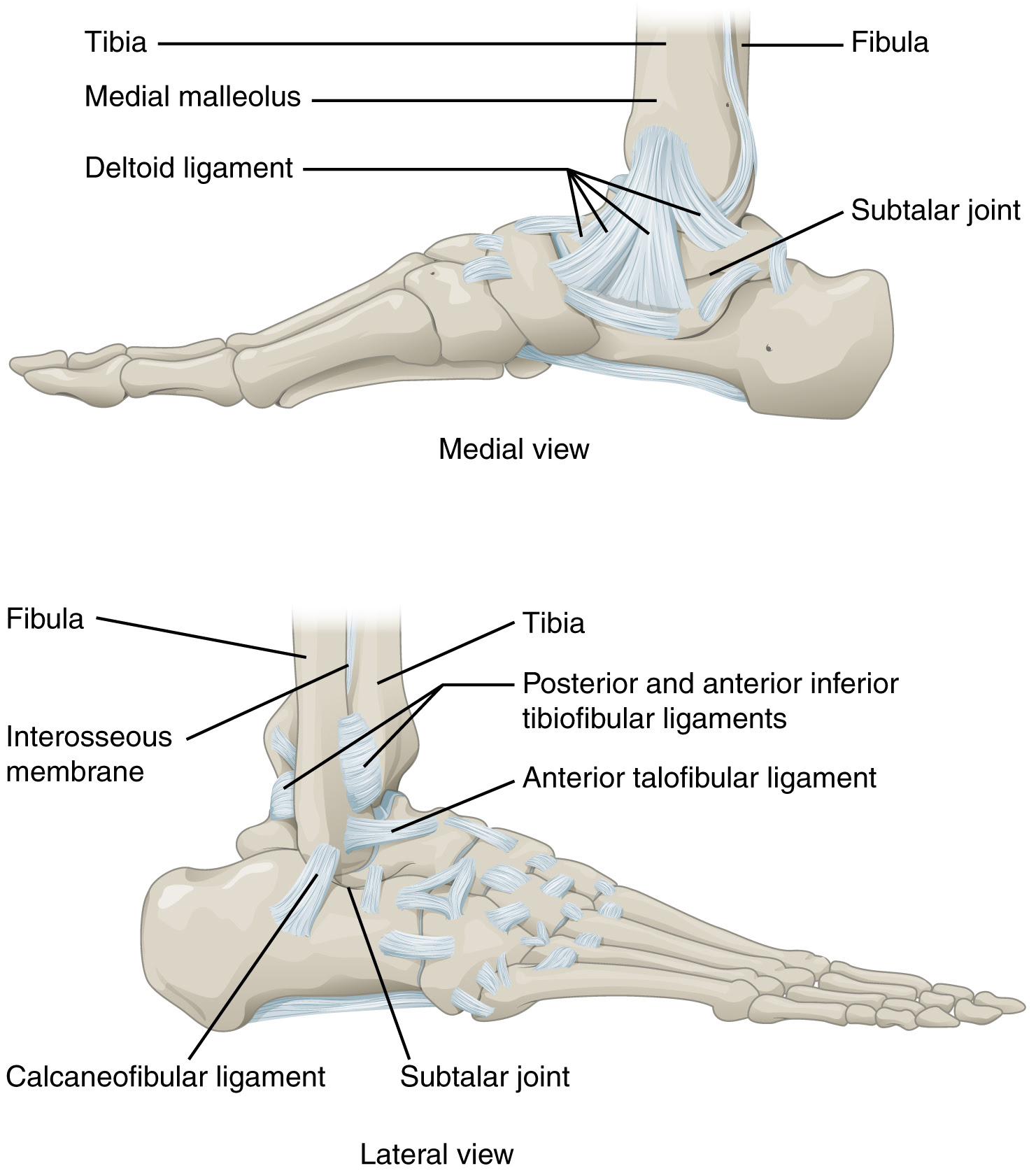 919_Ankle_Feet_Joints