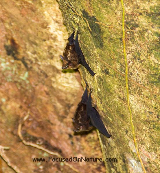 Lesser White-lined Bats