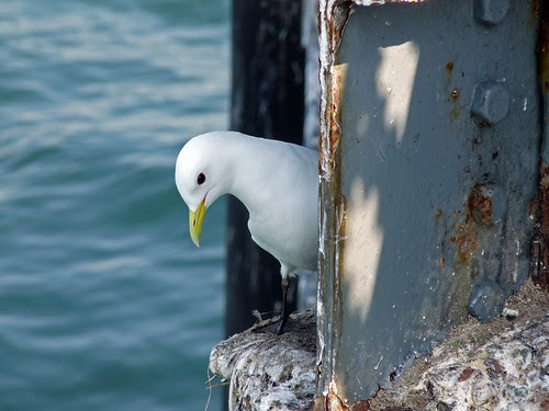 12266 - Kittiwake on Mumbles Pier