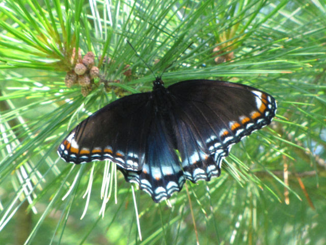 red-spotted purple admiral integrade